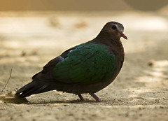 Common Emerald Dove, Green Dove, Green-winged pigeon ( ) (Kowshik Baral) Tags: wild green bird nature pigeon dove wildlife common emerald bangladesh greenwinged