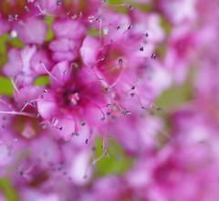 La Vie en Rose (miles smile) Tags: pink flowers macro nature colorful bokeh outdoor stamens tamron90mm