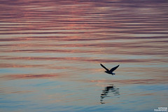 Fly away from here (simone781) Tags: blue sunset lake colour bird water beautiful reflections mirror soft shade hour