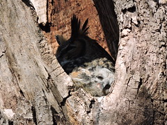 Great Horned Owl with Chick (Connor Langan) Tags: chick greathornedowl greenbeltlake