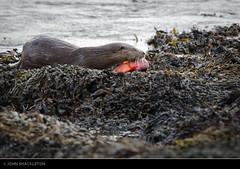 Otter - Inverness, Scotland (john_shackleton) Tags: scotland otter inverness beaulyfirth lutralutra