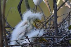 Tending babies... (dbifulco) Tags: babies florida gatorland greategret nest nestling nestlings orlando parent yawning bird nature wildlife