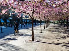 Stockholm, April 23, 2014 (Ulf Bodin) Tags: spring sweden stockholm cherryblossom sakura biker sverige vår kungsträdgården cykla stockholmslän körbärsblom
