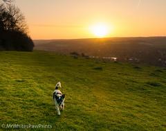Nibbler on Streatley Hill - sunrise (Mr Whites Paw Prints) Tags: dog rural sunrise landscape jackrussell nibbler streatleyhill