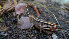 grasshopper lateral (John Tann) Tags: orange brown australia queensland april grasshopper orthoptera 2015 taxonomy:order=orthoptera geo:country=australia mountjimcrownationalpark