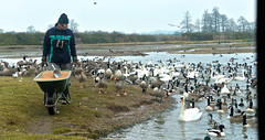 FEEDING TIME (chris .p) Tags: uk winter england lake birds scott geese nikon feeding ducks gloucestershire peter swans wetlands trust february waders wwt slimbridge wildfowl 2015 d610