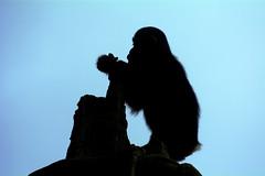 summit (ucumari photography) Tags: animal silhouette mammal zoo march nc chimp north carolina chimpanzee greatape 2015 specanimal dsc5521 ucumariphotography