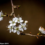 Blackthorn blossom in Lower Woods-1 thumbnail