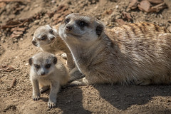 Meerkat pups and mom (Bob Worthington Photography) Tags: zoo meerkat pups sandiegozoo canon70200f28lisii canon7dmarkii zoo041115