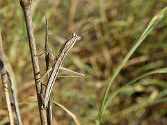 Yersiniops (carlos mancilla) Tags: insectos mantis mantids yersiniops olympussp570uz