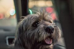Gur: el perro viajero  Venezolano. (Luis Carlos Sorola) Tags: auto morning dog maana gris luces bokeh venezuela ciudad perro lengua carro doggy monterrey perrito peludo mxic