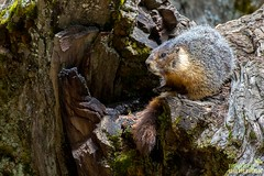 Yellow-bellied Marmot, Marmota flaviventris, Round Meadow, Sequoia National Park, California (Donald Quintana Nature Photography) Tags: california wildlife woodchuck marmot sequoianationalpark yellowbellied marmota flaviventris roundmeadow bigtreestrail