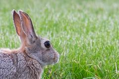 Little Bunny (wernsmannlynn) Tags: rabbit bunny nature potd 365