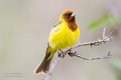 Red-headed Bunting (Esmaeel Bagherian) Tags: bird yellow 2016   1396 redheadedbunting  birdsphotography  nikond7000  esmaeelbagherian   esmalbagheriyan