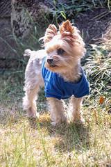 "Pet dog yorkie ""santa"" (shinichiro*@OSAKA) Tags: santa dog yorkie japan march spring  osaka crazyshin 2016  sd1m sigmasd1merrill sigma18300mmf3563dcmacrooshsm 20160331sdim0995"