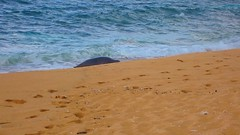 Monk seal (andyontravel) Tags: kauai monkseal