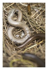 Slow Worm - Anguis fragilis (frattonparker) Tags: garden raw isleofwight slowworm anguisfragilis nikond600 tamron90mmmacro11 btonner frattonparker adoberaw9