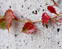 And the spring Creeps (vaibhavsarma) Tags: red art leaf artistic vine creeper