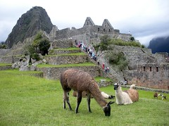 One of my favorites photos from our trip.  Llamas grazing in Machu Picchu - January 2010 (litlesam1) Tags: peru machupicchu january2010