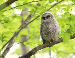 Sugar Bush Owl Baby! (Leslie Abram) Tags: