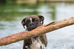 bigger is better (Tams Szarka) Tags: dog pet lake nature water animal forest puppy outdoor boxerdog boxer