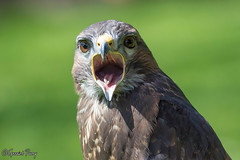 Buzzard (parry101) Tags: birds for centre international prey buzzard buzzards icbp