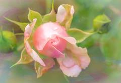 Rosebud (Shannonsong) Tags: pink flower texture nature garden blossom rosa rosebud beginning bloom bud