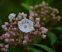 Mountain Laurel (Dendroica cerulea) Tags: white plant flower newjersey spring nj ericaceae shrub mountainlaurel matawan kalmia kalmialatifolia cheesequakestatepark middlesexcounty ericales