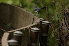 IMG_6119 (californiajbroad) Tags: bird nature outdoors wildlife birding scrubjay