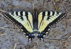 Yellow & Black Swallowtail from above (Pat's Pics36) Tags: canada butterfly bc britishcolumbia stives swallowtail yellowandblack shuswaplake nikond7000 nikkor18to200mmvrlens
