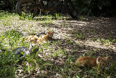 cat bike garden (Leonardo Santetti) Tags: italy cats green nature garden countryside italia motorbike tuscany leonardo toscana giardino mici motocicletta gattini baratti santetti leonardosantetti