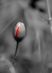 DSC_5980 (Bruno ArtPhoto) Tags: red flowers flower fleur coquelicot poppies pavots nature tamron explore rouge