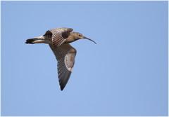 Curlew (jenny*jones) Tags: canon westyorkshire moorland curlew birdinflight wader eurasiancurlew wadingbird numeniusarquata gtbritain canon7dmarkii may2016 sigma150600mmc 668a0375