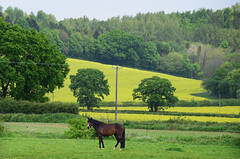 The Rother Valley - East Sussex (Mark Wordy) Tags: england horse countryside fields eastsussex rapeseed rothervalley
