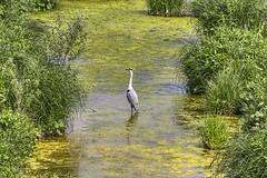Graureiher (Tatjana_2010) Tags: natur fluss ruhr vogel graureiher
