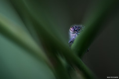 Spy (Naska Photographie) Tags: macro nature photo photographie natur vegetation paysage extrieur vegetal insectes libellule proxy macrophoto photographe macrophotographie proxyphoto naska
