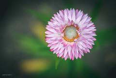 (N.H.    Photography) Tags: pink summer dog white flower macro green nature closeup garden spring purple bokeh 10 olympus m 60mm em makro zuiko f28 omd
