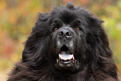 Tillie (NicoleW0000) Tags: dog pet newfoundland giant fur tillie gentle