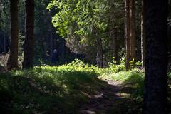 - and into the woods (estenvik) Tags: 2016 erikstenvik estenvik juni mo nordtrndelag norge norway salsnes path sti skog forest wood woods spruce gran granskog ensom vandrer solitary wanderer walking