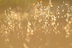 Golden bokeh (dfromonteil) Tags: gold yellow orange light sunset bokeh nature summer evening provence