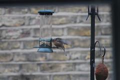 (sflangridge) Tags: bird chaffinch aphotoaday