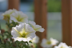 Sunny flowers (MomOfJasAndTam) Tags: flowers light sun plant flower spring flora dof depthoffield deck petunia backdeck