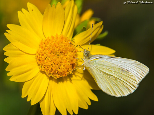 "Cabbage White • <a style=""font-size:0.8em;"" href=""http://www.flickr.com/photos/59465790@N04/27886258170/"" target=""_blank"">View on Flickr</a>"