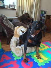 """Do my teeth look white in this?"" - Dobermann Pinschers Gabbana and Zeus Relaxing (firehouse.ie) Tags: animals animal dogs working watch guard breed german girl boy dobies dobes lionseat lionchair toys tan female male black brown red canine k9 pinschers pinscher dobermans dobermanns doberman dobermann dobie dobe dog gabbana zeus"