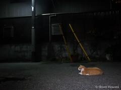 (Shiori Hosomi) Tags: cats japan tokyo july  mammalia felis 2016 carnivora felidae        23