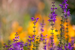 Life's Rich Tapestry  (Explore 08/07/2016) (paulapics2) Tags: texture colourful vibrant orange yellow purple blumen fleur floral garden nature canon5d canonef70300mm pink hydehallgardens salvia