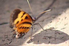 narcissus (Rodrigo Alceu Dispor) Tags: shadow macro butterfly insect narcissus