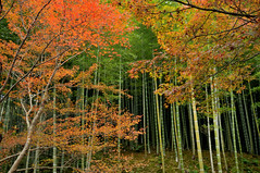 Tranquility | Kyoto (), Japan (Ping Timeout) Tags: city bridge november autumn vacation orange moon mountain holiday plant storm color colour tree green history fall beautiful field japan forest river garden season landscape japanese site maple amazing fantastic flora scenery kyoto crossing view grove outdoor capital scenic scene bamboo foliage mount arashiyama  imperial  nippon serene colourful  piece prefecture miyako kansai region metropolitan breathtaking attraction arashi honshu 2015 keishi     togetsuky saiky i  ky autoremovedfrom1to5faves