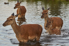 Bathtime for bambi (paulinuk99999 - just no time :() Tags: paulinuk99999 surrey london wildlife red deer fawn bambi water crossing swimming bath time sal70400g