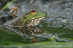 Watching the World Go By (muledriver) Tags: frogs bullfrogs nature amphibians